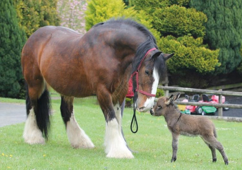 Attraction image for The Miniature Pony Centre Dartmoor